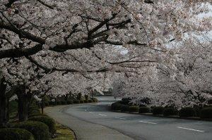 会社入り口の桜並木