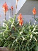 グロいアロエの花