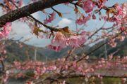 まだ5分咲きぐらいの河津桜