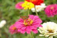 百日草の蜜を吸う蝶
