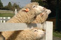 エサをねだる羊たち
